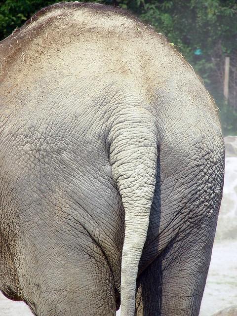 Elephant butt flickr photo sharing - Elephant assis ...