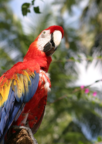 Macaw in Flores