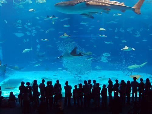 Whale Shark At Okinawa Churaumi Aquarium Japan Shark Photo
