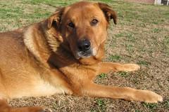broholmer(0.0), belgian shepherd malinois(0.0), korean jindo dog(0.0), dog breed(1.0), animal(1.0), dog(1.0), street dog(1.0), carnivoran(1.0),