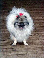 japanese spitz(0.0), bolognese(0.0), dog breed(1.0), animal(1.0), german spitz klein(1.0), dog(1.0), pet(1.0), volpino italiano(1.0), german spitz(1.0), keeshond(1.0), chinese imperial dog(1.0), german spitz mittel(1.0), carnivoran(1.0), pomeranian(1.0),