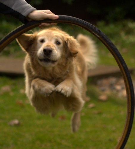 Dog jumping through hoop.