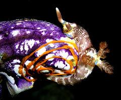 Nudibranchs of East Timor