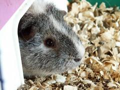 animal, rodent, pet, fauna, whiskers, gerbil,
