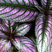 Strobilanthes Dyerianus - Persian Shield Acanthaceae by SCFiasco
