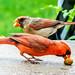Cardinal showing son how to eat peanuts. Cardinal montre son fils comment manger des arachides.         DSC_6321 by Nicole Nicky