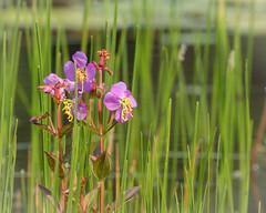 Maryland Meadow-beauty (Rhexia mariana)
