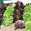 Beautiful lettuces at the farmers market today