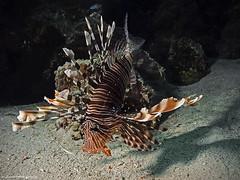 Common lionfish, Rotfeuerfisch (Pterois volitans)