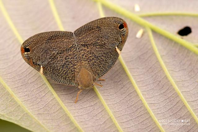Moth-like planthopper (Ricaniidae) - DSC_5326