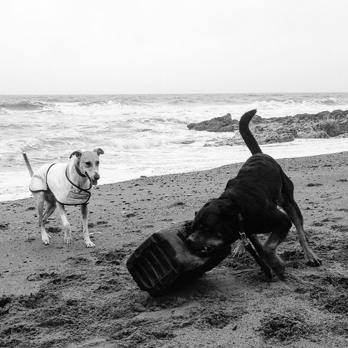 Porter enjoying his new toy. Hahaha! 🐶💨😂 #Rottweiler #rescuedog #Lurcher #sighthound #dog #BlastBeach #DawdonBeach #CountyDurham #England #EnglishSummer #blackandwhite