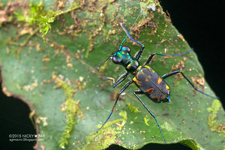 Tiger beetle (Cylindera sp.) - DSC_5764