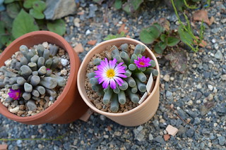 DSC_0060 Frithia pulchra  フリチア 光玉