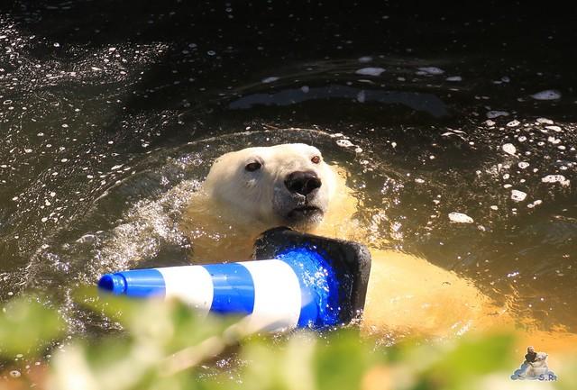 Eisbär Fiete im Zoo Rostock 033