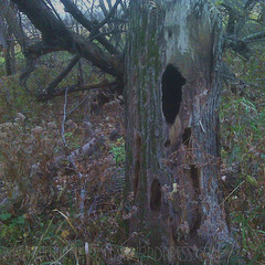 tree with woodpecker hole w
