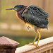 Ruffled Green Heron by Jeff Clow