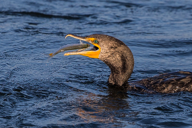 Double-crested Cormorant-20.jpg