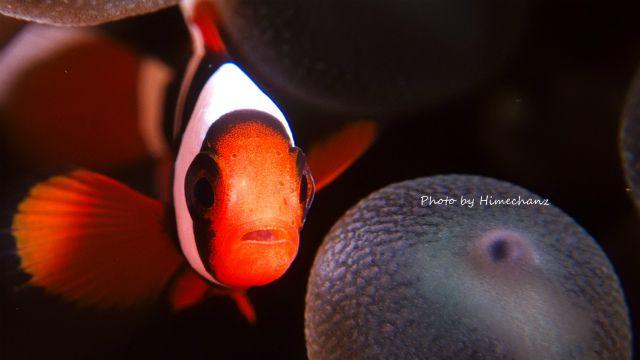 今日もマンタ見れてよかったねって言ってくれるハマクマノミ幼魚ちゃんw