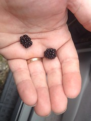 First Blackberries This Year