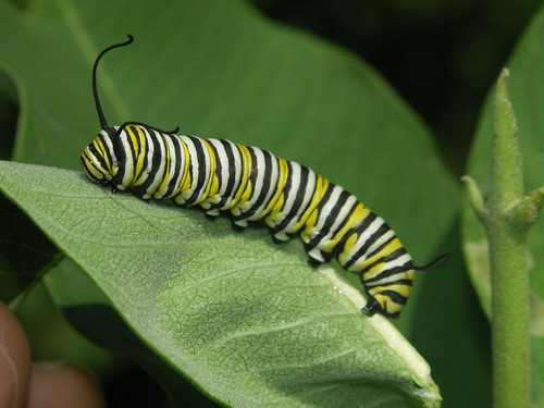 A monarch caterpillar on a leaf