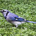 Blue Jay and Seed 20150701 by Woody Woodsman