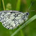 Marbled White (Melanargia galathea) by celerycelery