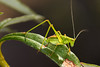 Small green grasshopper by Eduardo Estéllez