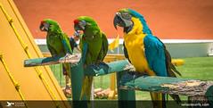 Birds - Macaws