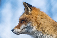 Profile of a fox with sky