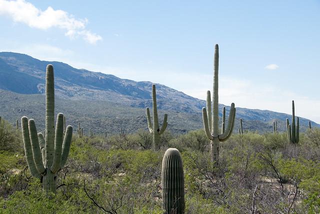 saguaro Carnegiea gigantea