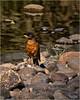 Mohawk Robin by marneejill
