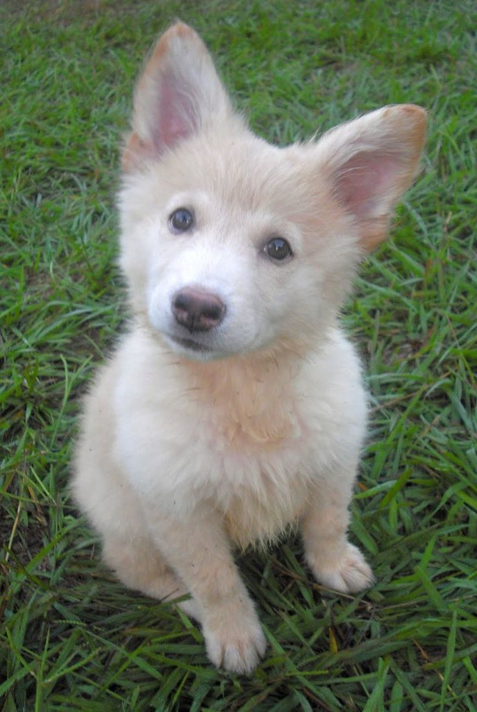 Cute Husky German Shepherd Mix Puppies Via Pets Gallery Bl Flickr