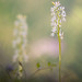 Orchis provincialis by michelafoto