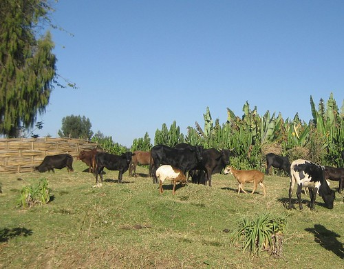 Mixed herd grazing under extensive production system in Arbegona District of Sidama zone(photo credit Yoseph)