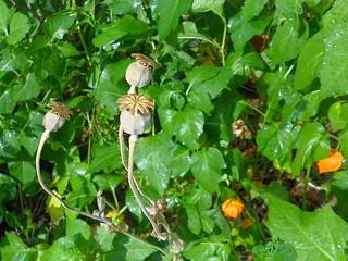 Mohnkapseln und Lampionblumen