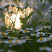 A Dalliance of Daisies by Ptolemy the Cat