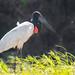 Jabiru Stork (Tim Melling)
