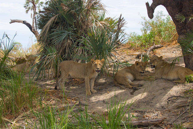 Lounging Lions