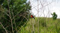 Red-breasted Meadowlark [Sturnella militaris]