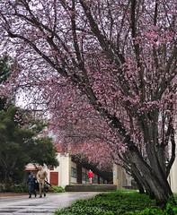 Cherry blossoms in Naval Postgraduate School.