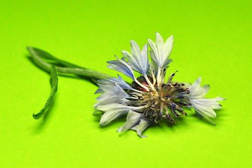 Kornblume verwelkt Centaurea cyanus Zyane Flockenblume kornblumenblau Ackerpflanze