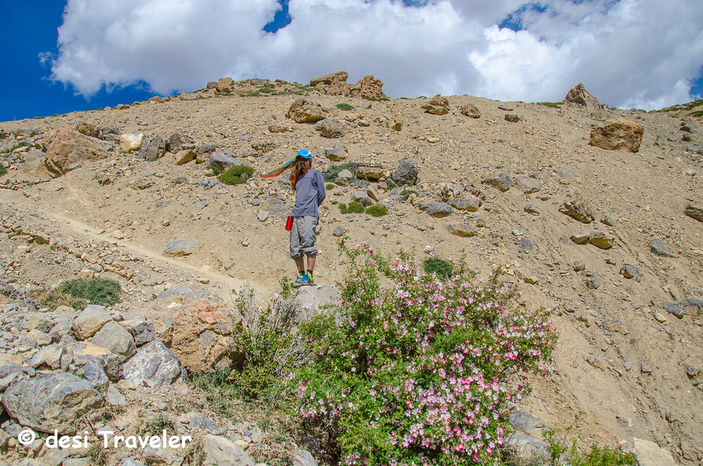 trekker with Wild Rose bushes in Dhankar Village Spiti