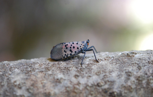An adult spotted lanternfly