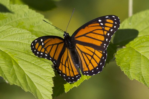 IMG_5211-viceroy