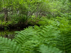 stream, woodland, vascular plant, fern, rainforest, branch, leaf, tree, plant, nature, old-growth forest, flora, green, forest, natural environment, ostrich fern, jungle, biome, vegetation,