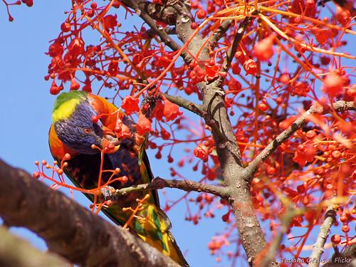 Rainbow lorikeet feeding on illawarra flame tree
