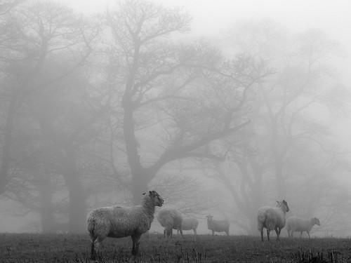 Misty sheepwalks