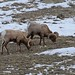 Bighorn sheep_(Peter Dunn)