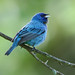 Indigo Bunting - male by rivadock4