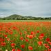 Fife Poppies